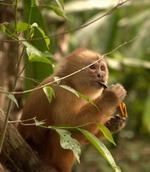 Monkey Capuccino