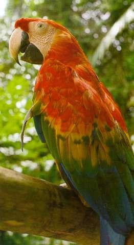 huacamayo